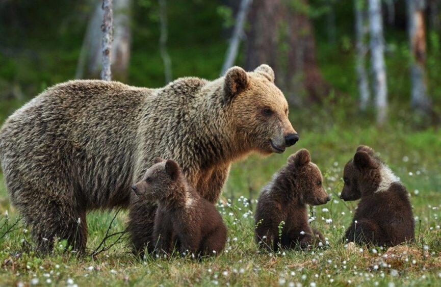Словения, медведи