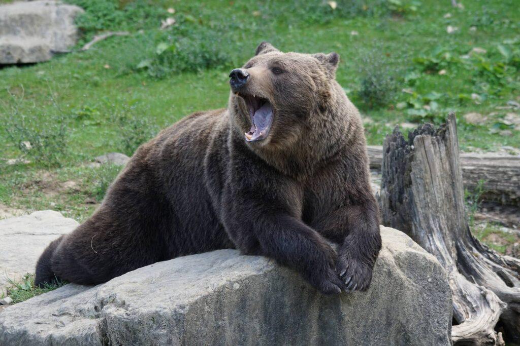 Медведь в Словении