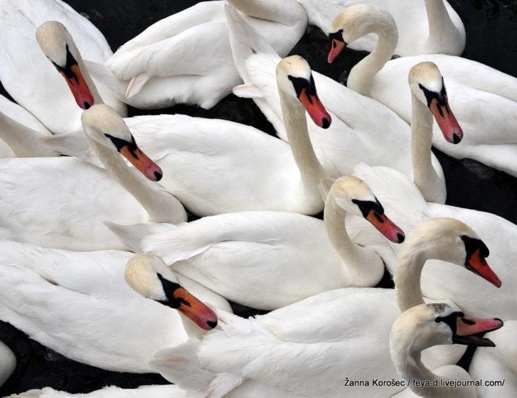 Лебеди вокруг