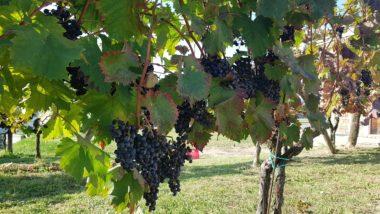 Виноград Рефоско