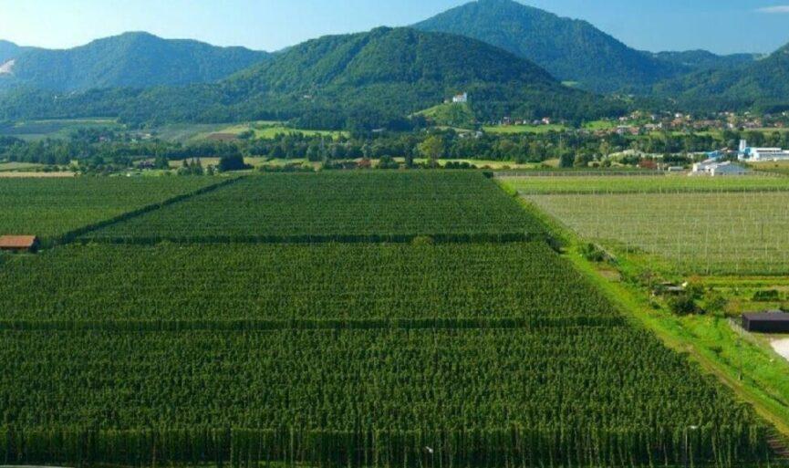 Поля хмеля в Словении
