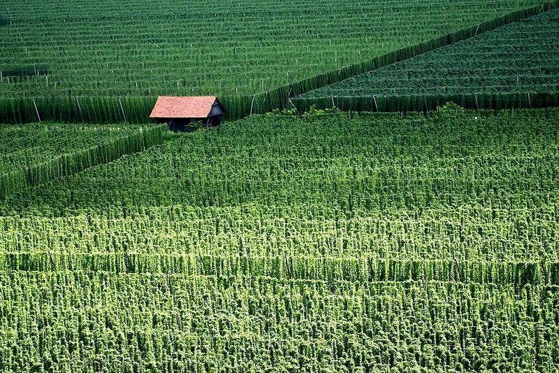 Поля хмеля в Нижне-Савиньской долине