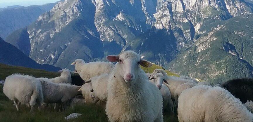 Бовский овечий сыр