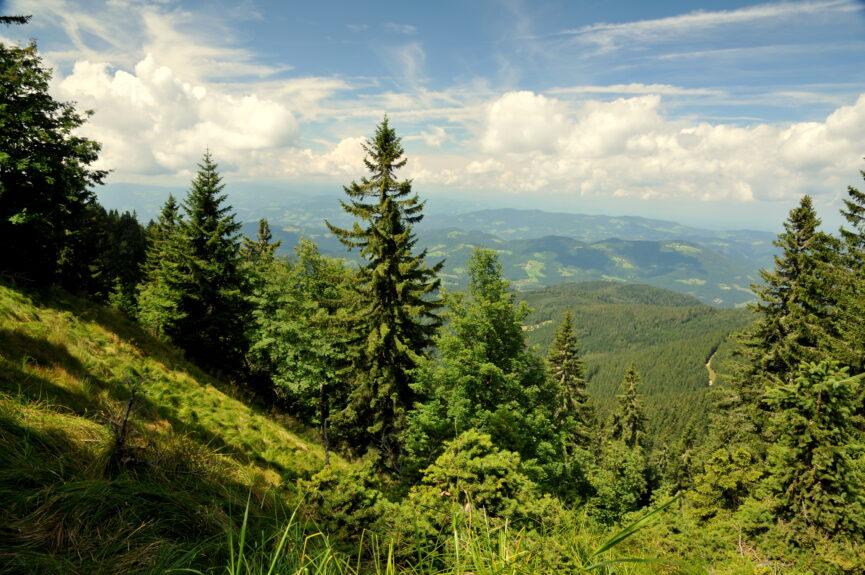 Хвойные леса Похорья