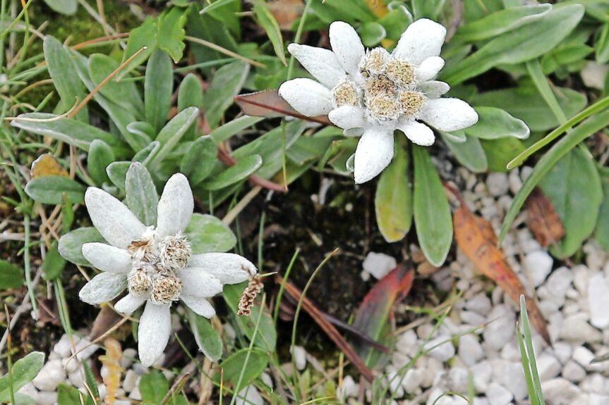 Альпийский цветок Планика